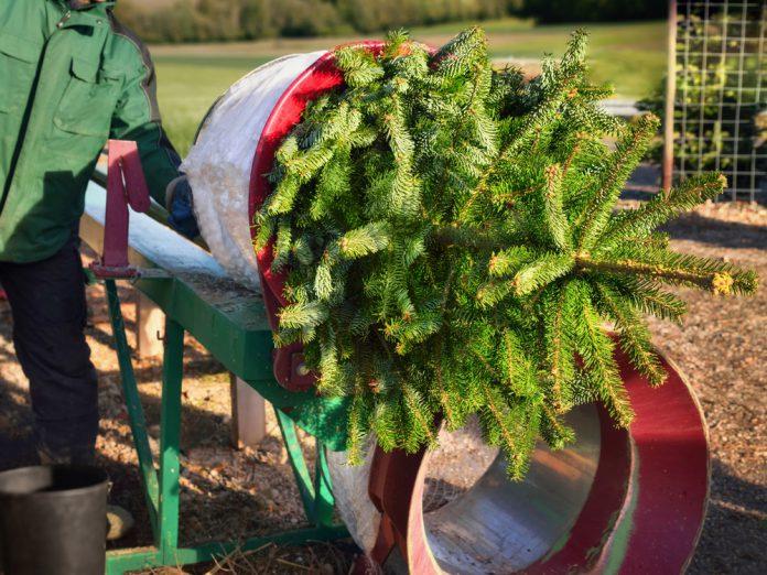 Douglasie Weihnachtsbaum Kaufen.Tipps Weihnachtsbaum Kaufen Ratgeber Haus Garten